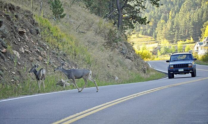 Antler Alert: Vehicle & Animal Collisions On The Rise