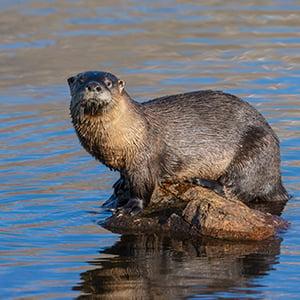 The Colorado River Otter