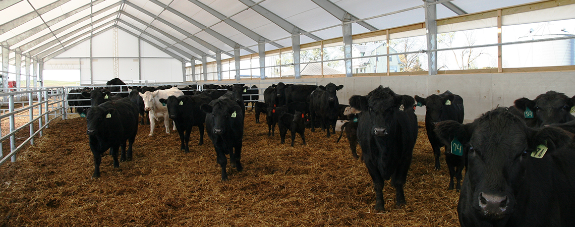 1140x450-Gall Cattle