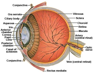 Anatomy of the Human Eye - Cross-section view