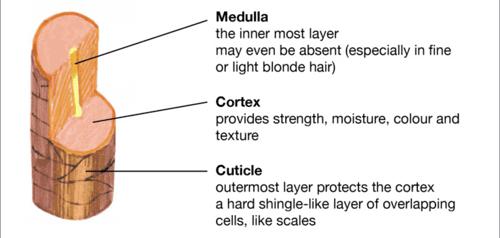 hair shaft diagram illustration